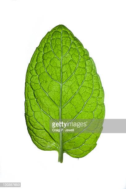 minty green - mint leaf stock photos and pictures