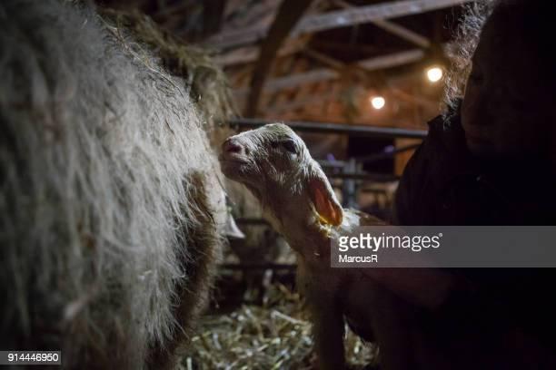 10 minutes old lamb - nieuw leven stockfoto's en -beelden