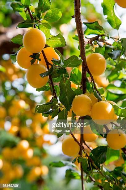 Mirabelle plum fruit on tree