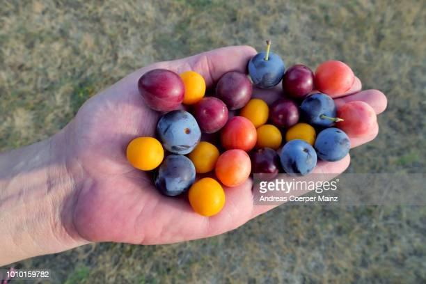 mirabellen vieler farben hand - ラインラント=プファルツ州 ストックフォトと画像