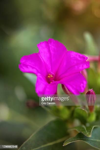 mirabilis jalapa pink flower, four o'clock flower - cris cantón photography fotografías e imágenes de stock