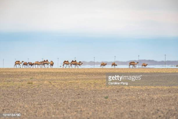 mirage and a herd of bactrian camels moving together in the desert of mongolia. - heat haze stock pictures, royalty-free photos & images