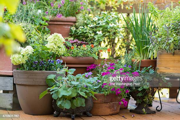 Miriam Settles calls herself the container gardener thanks to a flourishing balcony garden full of plant life ranging from flowers to fruits and...