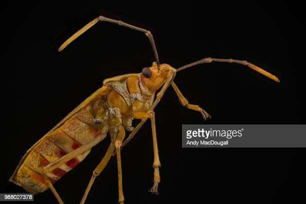 mirid bug - kissing bug stock photos and pictures