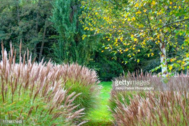 miscanthus (commonly known as elephant grass or silver grass) and a birch tree in an english garden - gras stock pictures, royalty-free photos & images