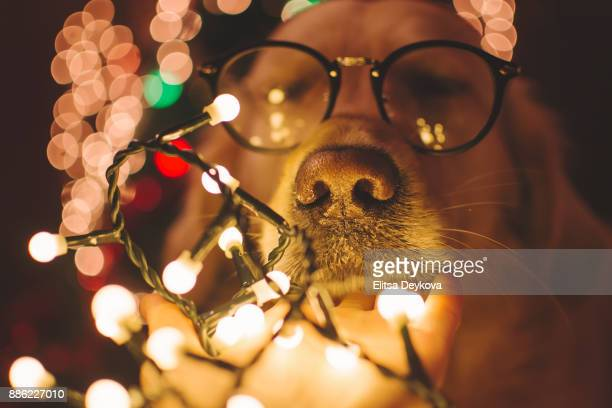 Mischief dog in Christmas time