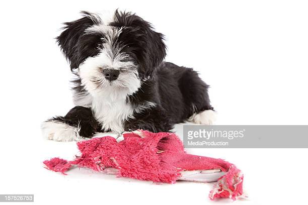 mischief dog