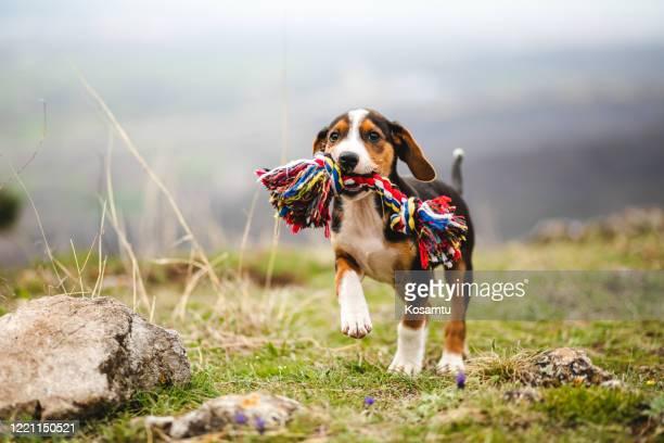 filhote de raça mista travessura segurando um brinquedo colorido em sua mandíbula - filhote de cachorro - fotografias e filmes do acervo