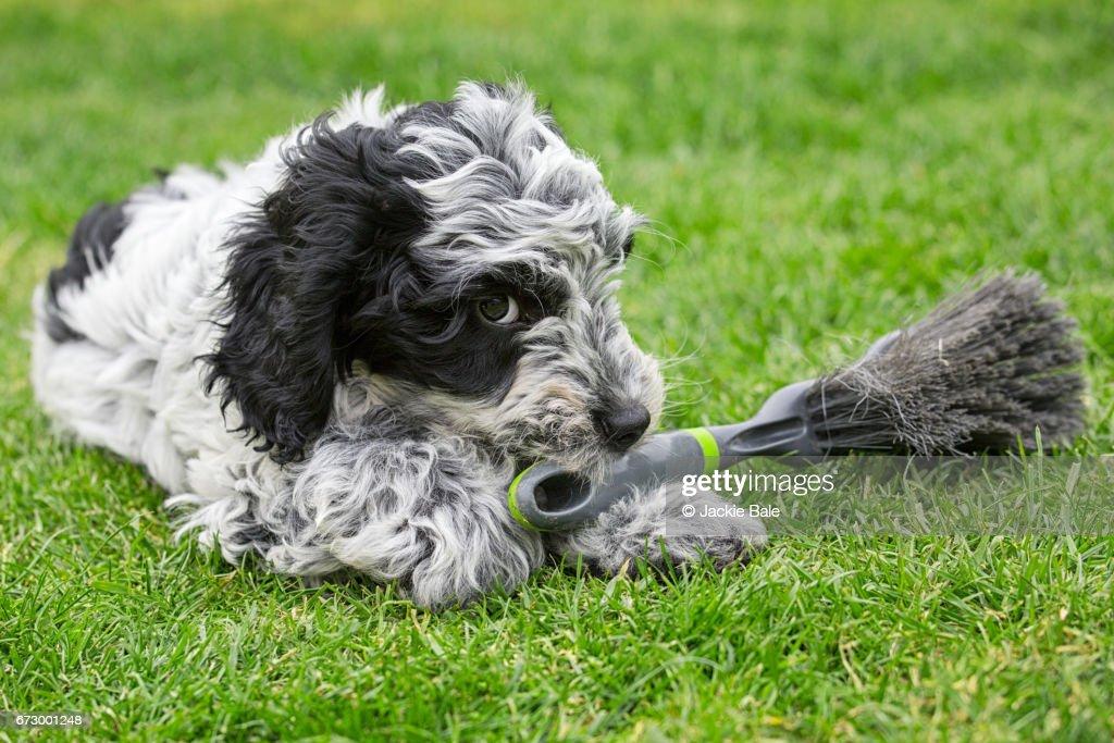 Mischievous cockapoo puppy : Stock Photo