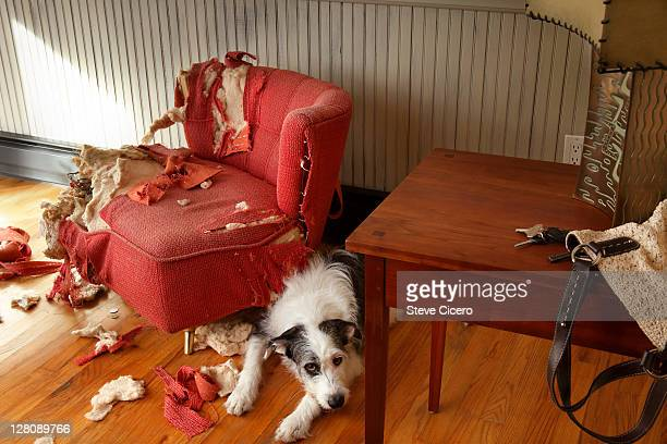 mischievous dog sitting next torn furniture - vernieling stockfoto's en -beelden