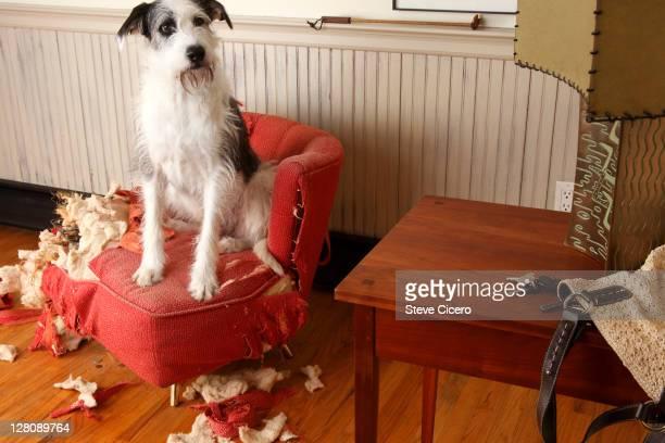 Mischievous dog sitting on torn furniture
