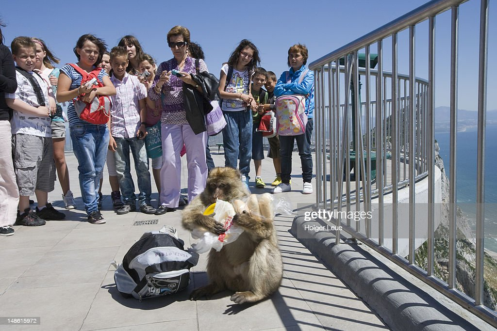 Mischievous Gibraltar ape (Barbary Macaque) stealing boy's lunch at top of Gibraltar Rock. : Stock Photo