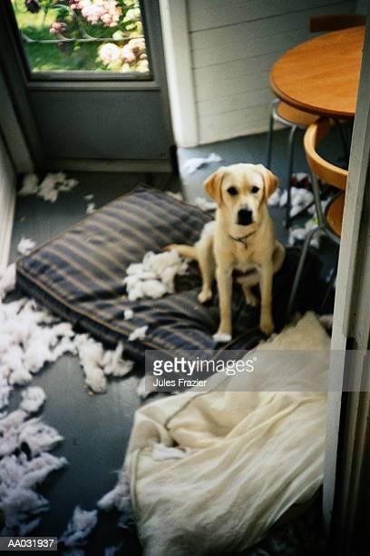 Mischievous Yellow Labrador Retriever