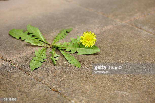 Miserable dandelion in the middle of a pavement.