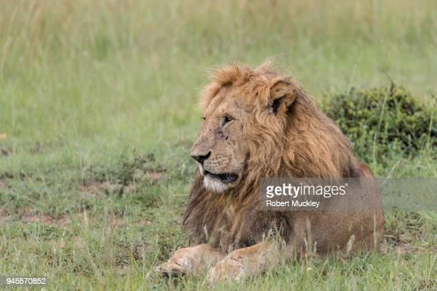 Miserable Male Lion