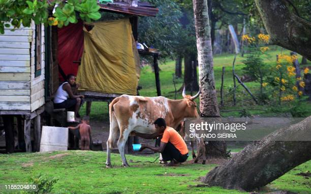 A Miskito man milks a cow at his home in Prumnitara Puerto Lempira Honduras on July 8 2019 Thousands of fishing divers of the Mosquitia region where...