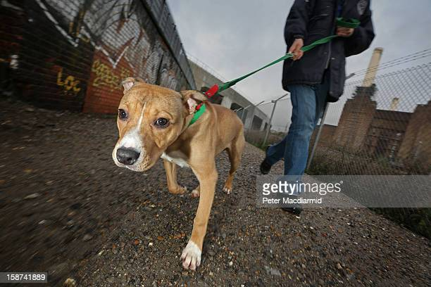 Misletony a dog abandoned two days before Christmas is exercised at Battersea Dogs and Cats Home on December 27 2012 in London England The home was...