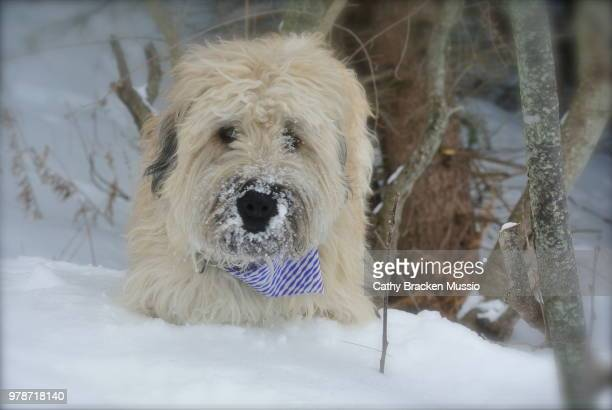 miss moxie - soft coated wheaten terrier stock photos and pictures