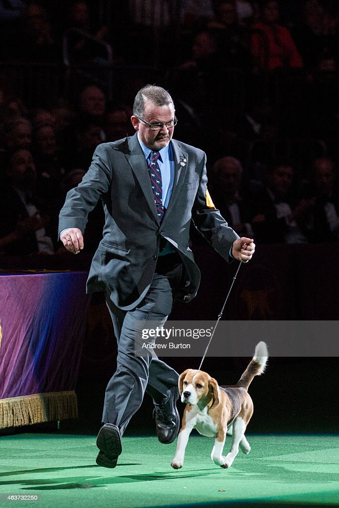 Miss P, a 15 inch beagle from the hound group, is shown by William Alexander before winning the Best in Show award of the Westminster Kennel Club dog show on February 17, 2015 in New York City. The show, which is in its 139th year and is called the second-longest continuously running sporting event in the United States, includes 192 dog breeds and draws nearly 3,000 global competitors.