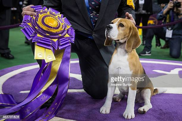 Miss P, a 15 inch beagle from the hound group, wins the Best in Show award of the Westminster Kennel Club dog show after being shown by William...