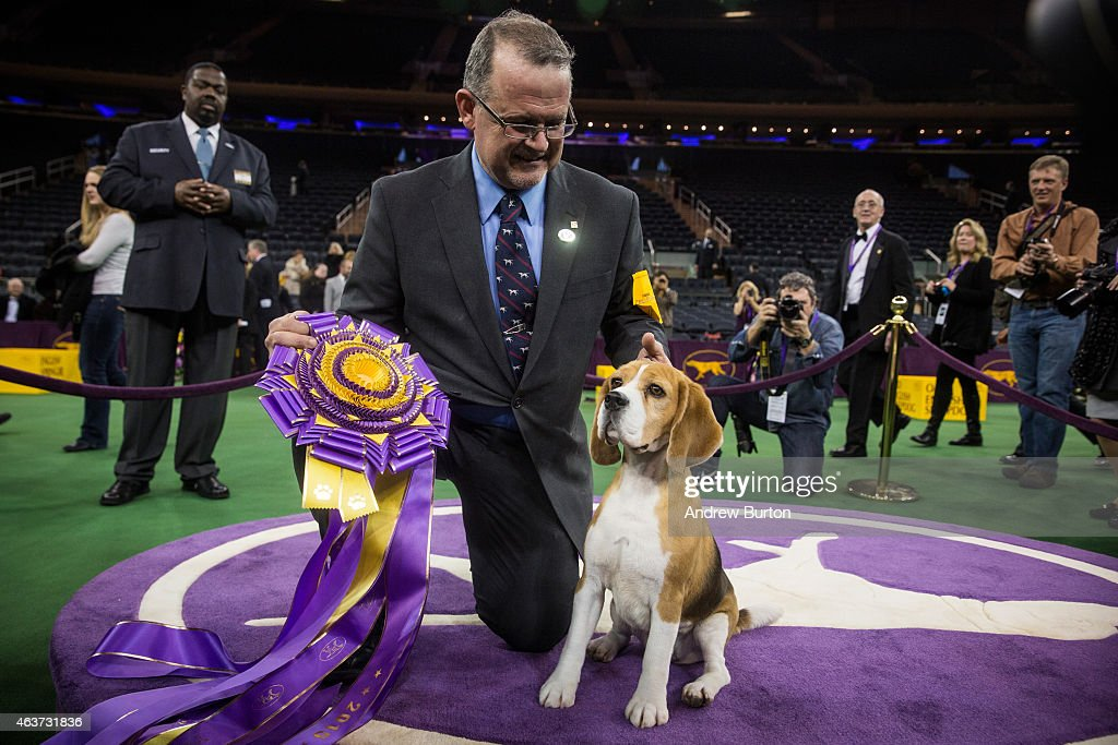 Miss P, a 15 inch beagle from the hound group, wins the Best in Show award of the Westminster Kennel Club dog show after being shown by William Alexander on February 17, 2015 in New York City. The show, which is in its 139th year and is called the second-longest continuously running sporting event in the United States, includes 192 dog breeds and draws nearly 3,000 global competitors.