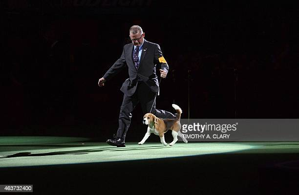 Miss P a 15 inch Beagle walks with handler William Alexander as she wins the 'best in show' of the 139th Annual Westminster Kennel Club Dog Show at...