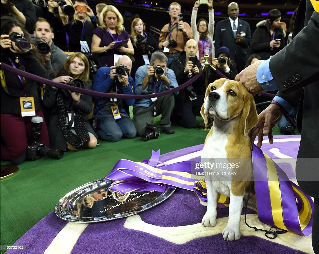 Miss P, a 15 inch Beagle with handler William Alexander, looks on after winning the 'best in show' of the 139th Annual Westminster Kennel Club Dog Show at Madison Square Garden in New York on February 17, 2015. The Westminster Kennel Club Dog Show is a two-day, all-breed benched show that takes place at both Pier 92 & 94 and at Madison Square Garden.