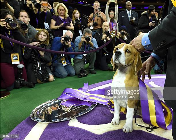 Miss P a 15 inch Beagle with handler William Alexander looks on after winning the best in show of the 139th Annual Westminster Kennel Club Dog Show...