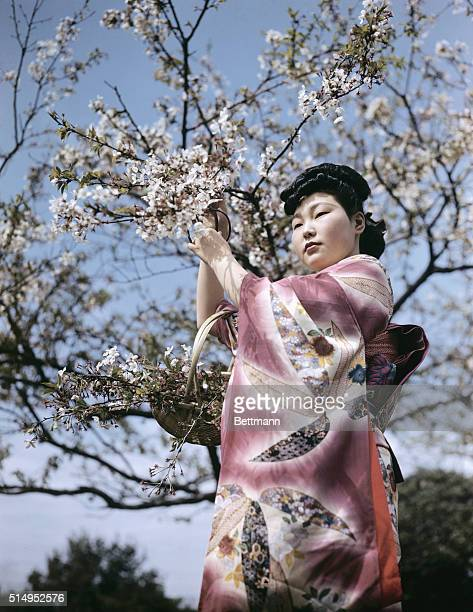 Miss Sumiko Kondo Kamakura Japan cutting cherry blossoms the pride of Japan and the coronation of spring This tree has given Japan its floral name of...