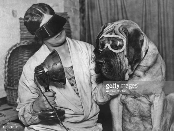 Miss V. Clarke giving English mastiff Buster a sun ray treatment before he takes part in the Crufts dog show in London, 21st April 1929. Both are...