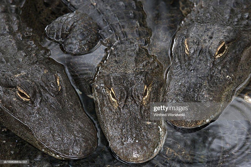 Mississippi alligators, alligator farm, Orlando, Florida, USA : Stock Photo