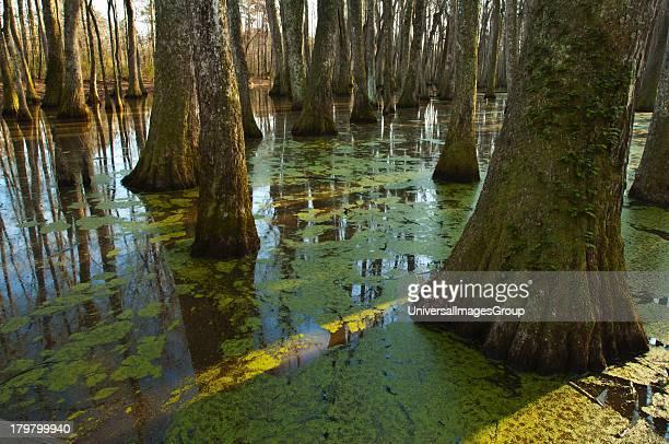 Mississippi Natchez Trace Parkway Tupelobald cypress Swamp
