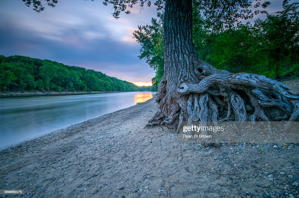 Mississippi Tree Root : Stock Photo