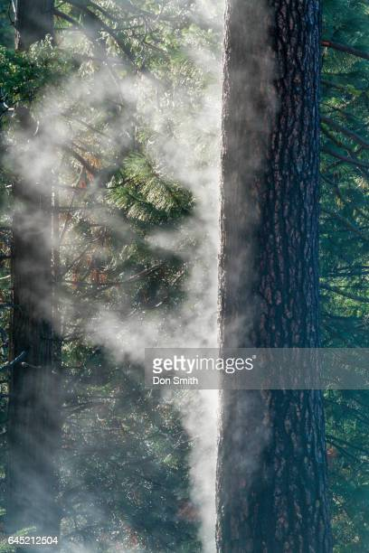 mist from rain-soaked pine - don smith stock pictures, royalty-free photos & images