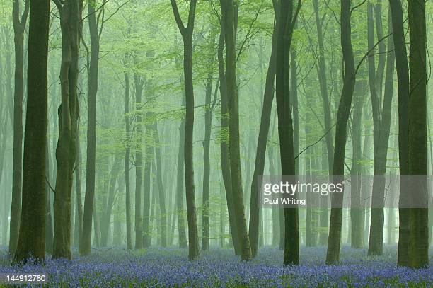 mist in bluebell wood - bluebell wood stock pictures, royalty-free photos & images