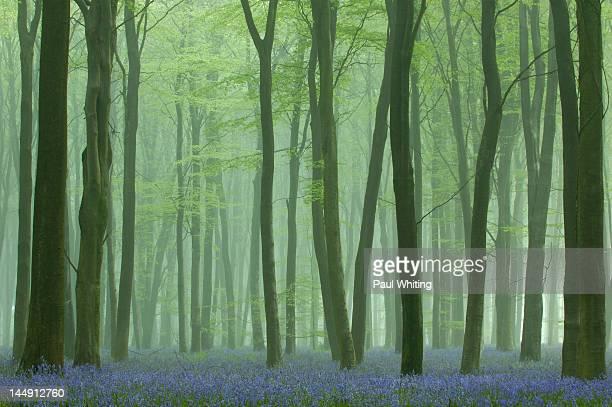 Mist in bluebell wood