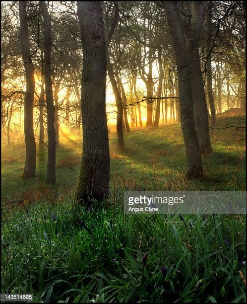 Mist in oak forest