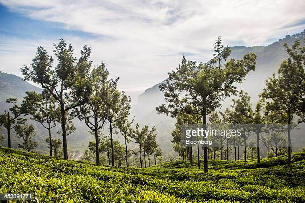 Mist surrounds a tea plantation in Coonoor Tamil Nadu India on Saturday Nov 30 2013 India is the worlds largest producer of tea after China...