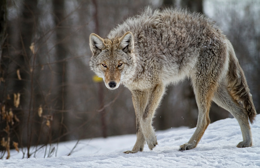 Mister Coyote 500108686