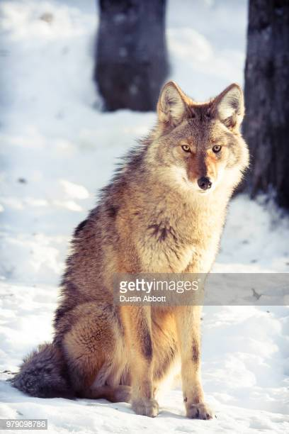 mister coyote - dustin abbott stock pictures, royalty-free photos & images