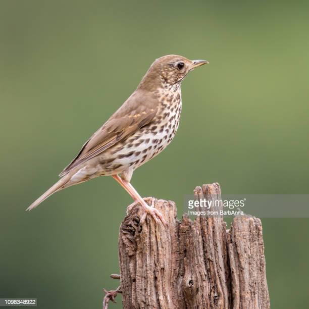 mistle thrush on wooden post - tordo bottaccio foto e immagini stock