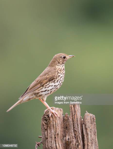 mistle thrush on wooden post, uk - lijster stockfoto's en -beelden