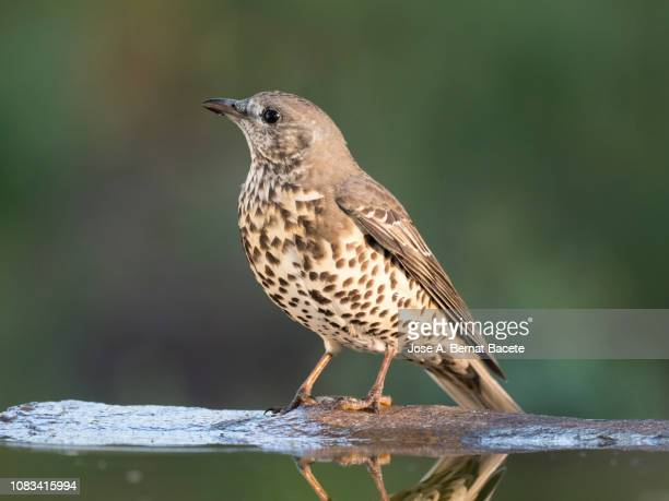 mistle thrush (turdus viscivorus), perched standing close to the water on with  branches with líquenes, eating and drinking in a landscape of mountain. spain, europe. - lijster stockfoto's en -beelden