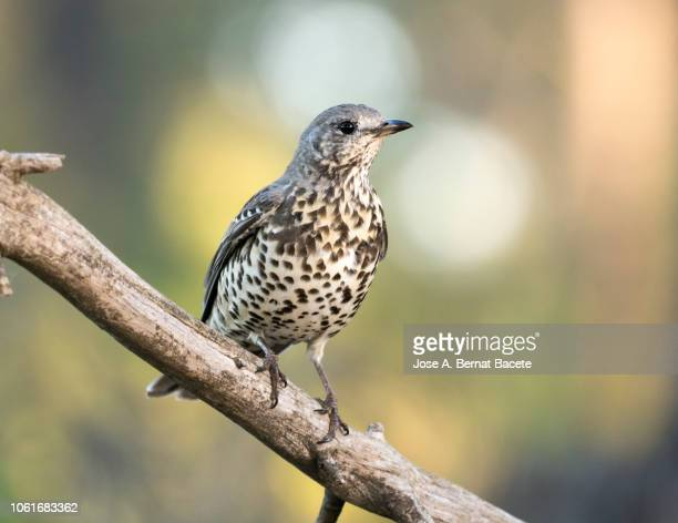 mistle thrush (turdus viscivorus) standing  on a branch of tree. - thrush stock pictures, royalty-free photos & images