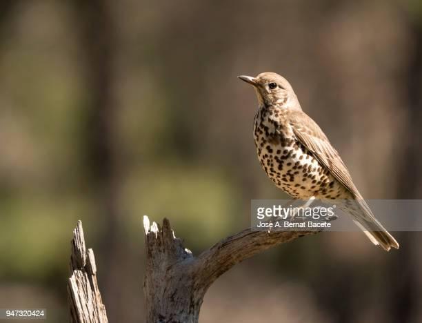 mistle thrush (turdus viscivorus) standing  on a branch of tree. - lijster stockfoto's en -beelden