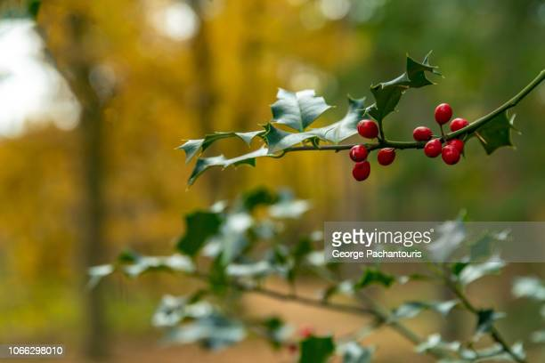 mistletoe close-up in the forest - what color are the berries of the mistletoe plant stock pictures, royalty-free photos & images