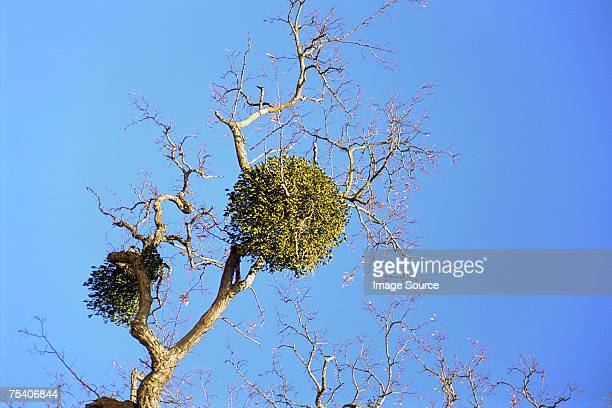 Mistletoe growing on a tree