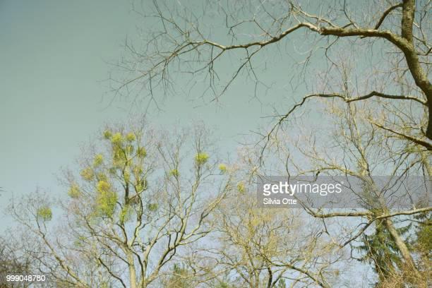 Mistletoe in treetops