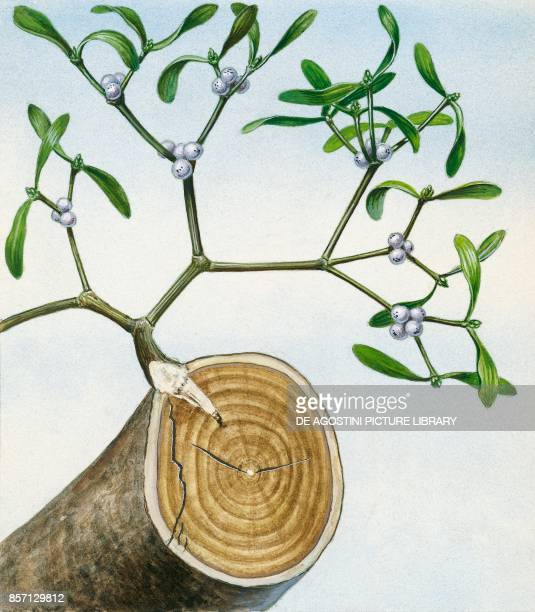 Mistletoe plant with haustoria in the trunk of the host plant drawing
