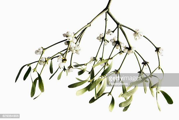 Mistletoe Viscum album a bunch hanging down with white berries against white background